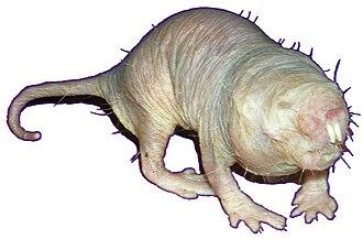 Eusociality - Image: Blueish Naked Mole Rat extracted on white background