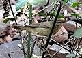 Blyth's Reed Warbler Acrocephalus dumetorum by Dr Raju Kasambe DSCN3298 (13).jpg
