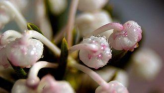 Подбел обыкновенный, цветки крупным планом