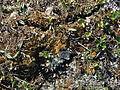 Boloria chariclea upernavik kujalleq 2007-07-24 1.jpg