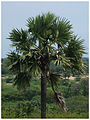 Borassus flabellifer 1.JPG