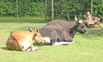 Banteng - Java banteng cow (left) and bull (right)