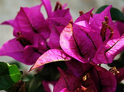meaning of bougainvillea