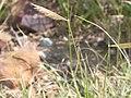 Bouteloua gracilis (3796731103).jpg