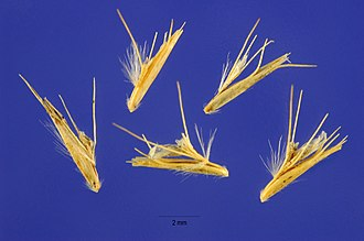 Bouteloua gracilis - Mature spikelets that have detached from the spike. Each may contain a seed.