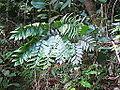 Bowenia spectabilis Daintree 2.JPG