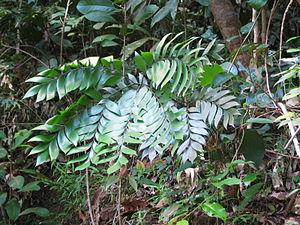 Bowenia spectabilis - Image: Bowenia spectabilis Daintree 2