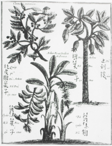Cinnamomum cassia wikipedia c cassia top left depicted by micha boym 1655 ccuart Image collections