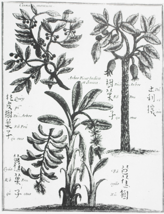 "Michał Boym - Drawings of Chinese fruit trees from Michael Boym's ""Briefve Relation de la Chine"" (Paris, 1654). Depicted are the Cinnamomum cassia, the durian, and a variety of banana (or plantain) tree, with their Chinese names."