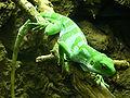 Brachylophus fasciatus (1).jpg