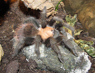 <i>Brachypelma albiceps</i> species of arachnid