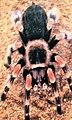 Brachypelma smithi 0zz.jpg