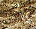 Braconid Wasp - Atanycolus species (37899152191).jpg