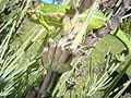 Bradypodion pumilum adult.JPG