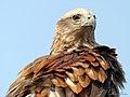Brahminy Kite (13077455934).jpg