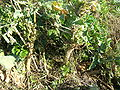 Brassica oleracea3.jpg