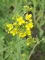 Brassica rapa subsp. oleifera, bladkool (2).jpg