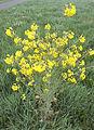 Brassica rapa subsp. oleifera, raapzaad plant.jpg