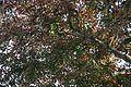 Breynia Disticha (Snow Bush) (28258877984).jpg