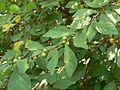 Bridelia hamiltoniana (1842227749).jpg