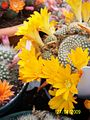 Bright yellow Rebutia (3496998627).jpg