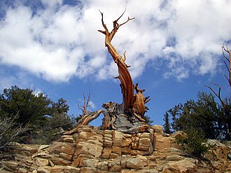 Ancient Bristlecone Pine Forest - Pinus longaeva – bristlecone pines in the Ancient Bristlecone Pine Forest, White Mountains, California