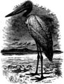 Britannica Jabiru.png