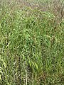 Bromus secalinus subsp. decipiens sl1.jpg