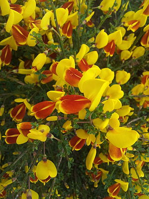 Genisteae - Broom (plant)