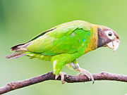A green parrot with a yellow neck, a brown head and tail and white eye-spots
