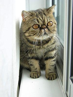 Exotic Shorthair - Brown Tabby Exotic Shorthair   Female Kitten - 1 year old