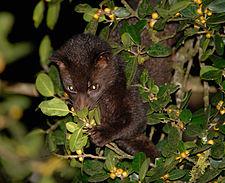 Brown palm civet.jpg