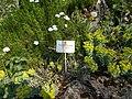 Budai Arborétum. Felső kert. Délszaki kutyatej (Euphorbia myrsinites). - Budapest.JPG