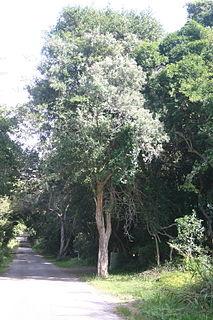 <i>Buddleja saligna</i> African tree species