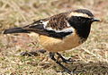 Buff-streaked Chat, Buff-streaked Bushchat, Campicoloides bifasciatus (male) at Marakele National Park, South Africa (14066416014).jpg