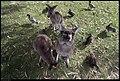 Buiobuione - kangaroo at kangaroos island 2.jpg
