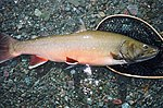 Bull trout fish on rocks by water salvelinus confluentus.jpg