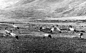 Black-necked crane - A 1938 photograph of a flock in the Brahmaputra valley