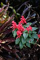 Bunga Lilin Merah.jpg