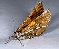 Bupalus piniaria, Lodz(Poland)01(js).jpg