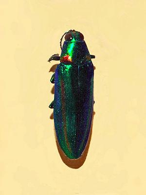 Chrysochroa rajah - Image: Buprestidae Chrysochroa rajah 1