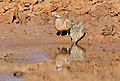 Burchell's sandgrouse, Pterocles burchelli, at Mapungubwe National Park, Limpopo, South Africa (17978922725).jpg