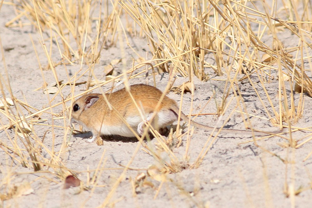 The average litter size of a Bushveld gerbil is 4