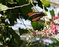 Butterfly Pavilion 8-23 (20948879821).jpg