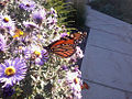 Butterfly on New England Aster (Aster novae-angliae).jpg