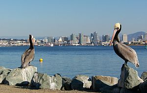 Two California Brown Pelicans with the San Diego skyline in the background