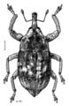 COLE Curculionidae Euthyrhinus squamiger.png