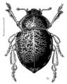 COLE Tenebrionidae Chaerodes trachyscelides.png