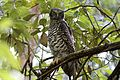 CSIRO ScienceImage 3799 Powerful Owl Kinglake Victoria.jpg