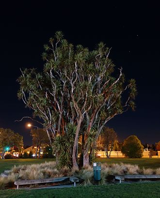 Burnside High School - Night photo of the historical cabbage tree on the grounds of Burnside High School, September 2016
